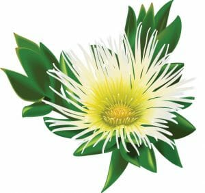 Sceletium Tortuosum (Kanna) Plant