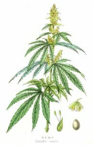 hemp plant, cannabis sativa
