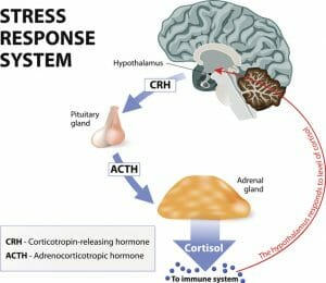 hpa axis, cortisol, adrenal gland