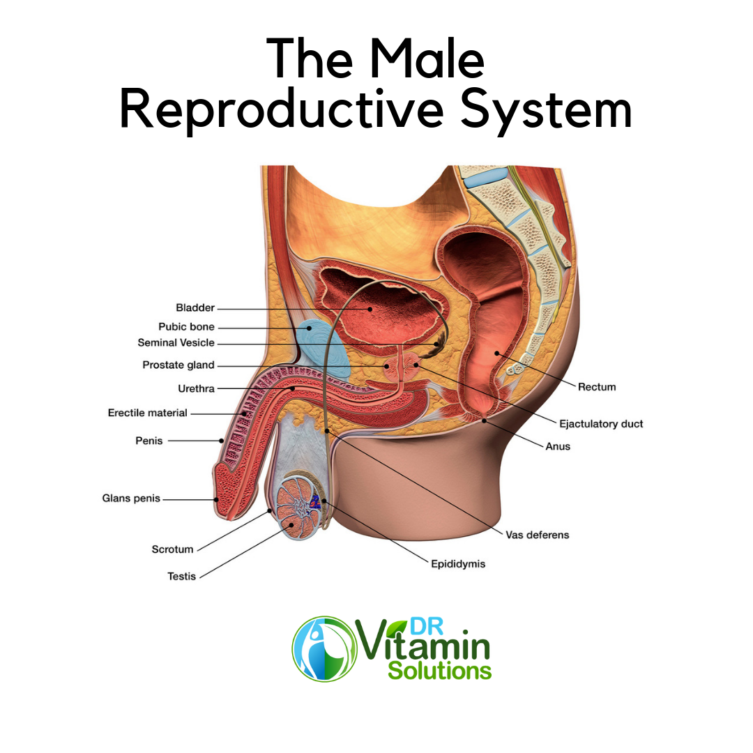 Reducing Prostate Infection begins by understanding the Male Reproductive System