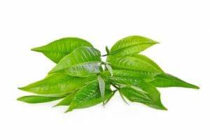green tea leaves, green t-max