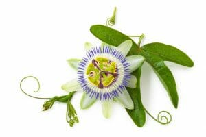 passionflower, passion flower, passiflora