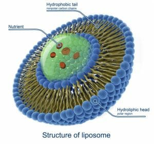 liposomal encapsulation, liposome, An Overview of Nutrient Absorption
