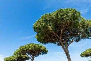 Maritime pines, Pycnogenol