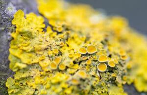 Green and yellow lichens, lichen, vegan vitamin d3 source, is vitamin d3 vegan friendly