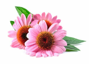 photograph depicting Echinacea flowers
